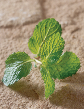 Mint most popular spa ingredients