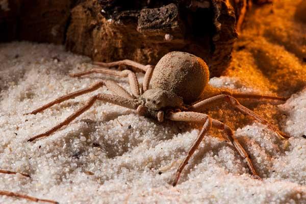 Песочный паук опасные пауки