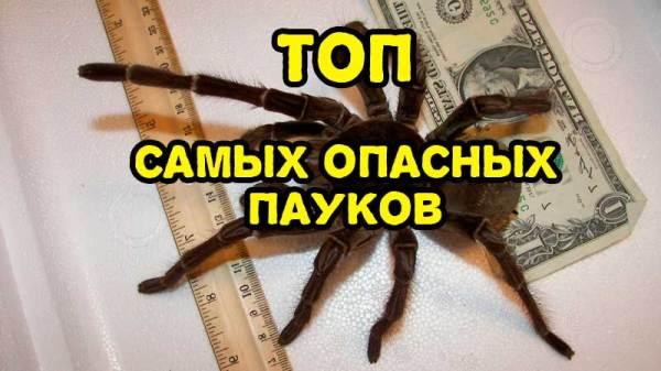 Самые опасные пауки - Самые лучшие ТОПЫ