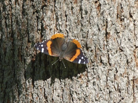 Red Admiral butterfly in Alamo Heights