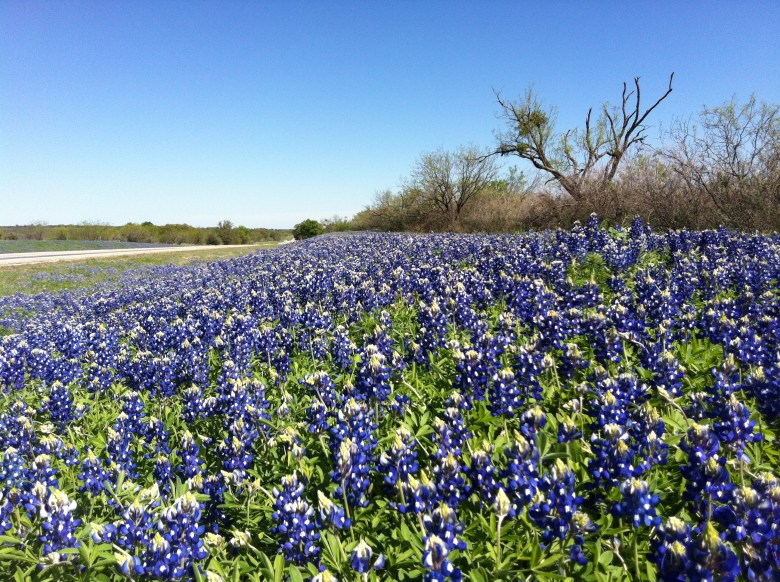 Bluebonnets are always early bloomers.  These found between Fredericksburg and Mason on March 22.