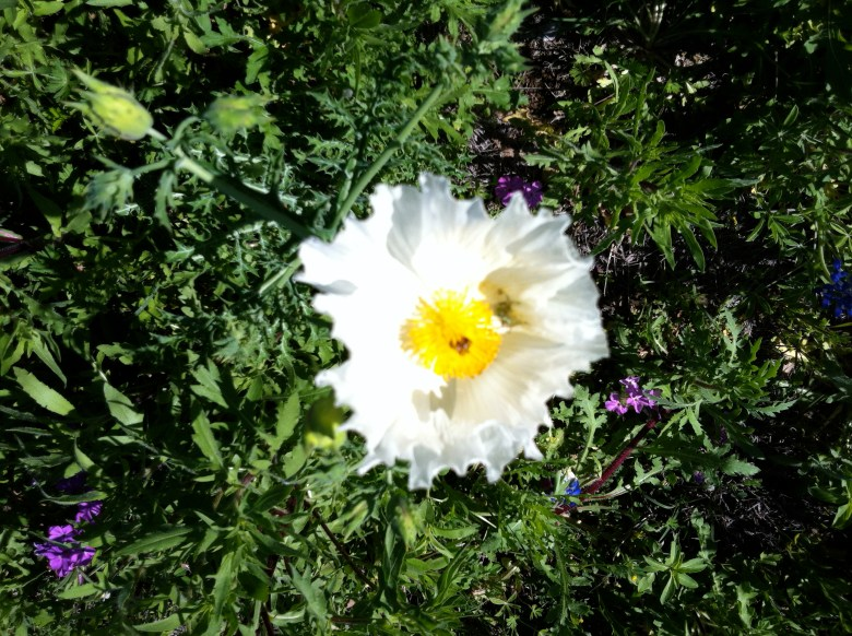 Prickly Poppies are making an early showing this year