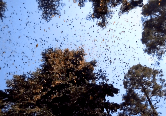 Monarch butterflies are leaving Michoacan and heading to Texas