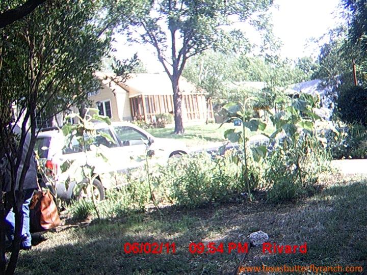 Garden Thief in Austin, Texas