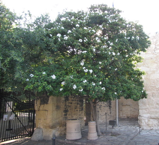 Mexican Olive Tree at the Alamo