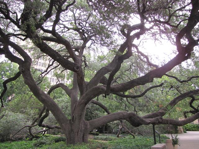 Live Oak at the Alamo
