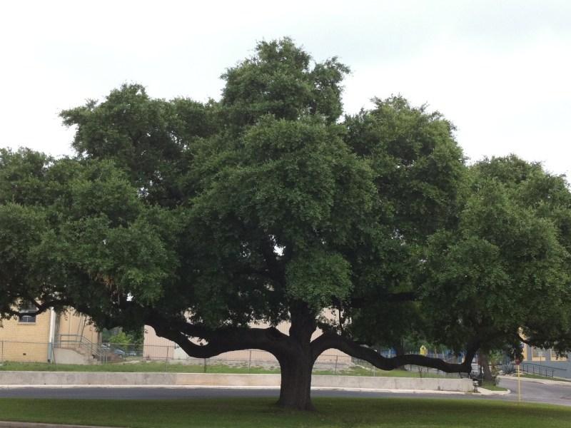 Menefee Tree