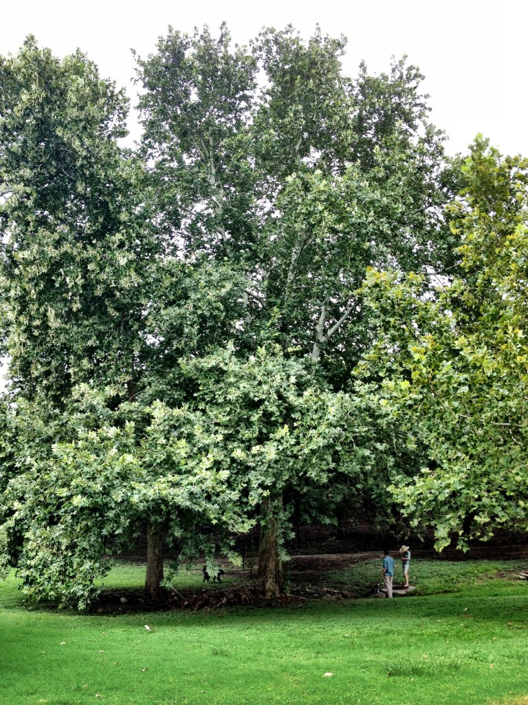 Champion Mexican Sycamore at Trinity University