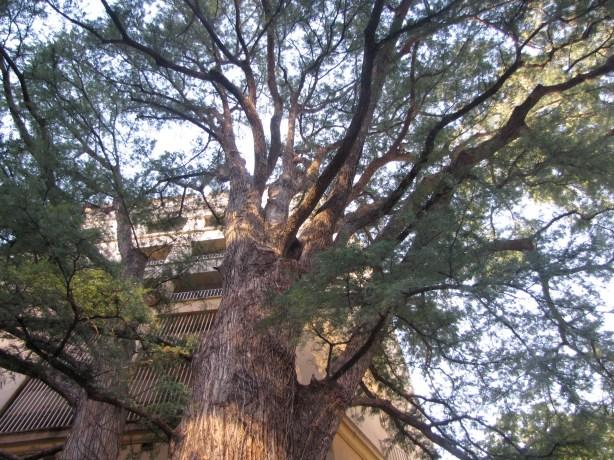 Ben Milam Bald Cypress