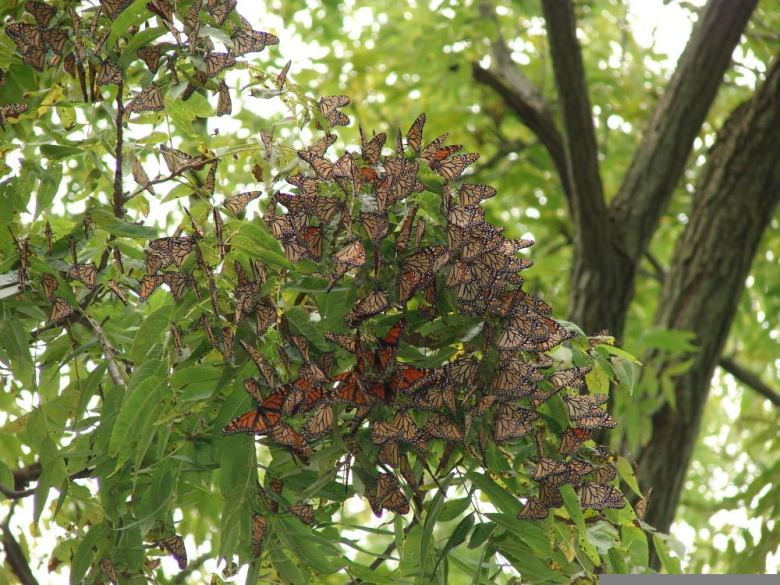 Monarch butterflies roosting in Canada