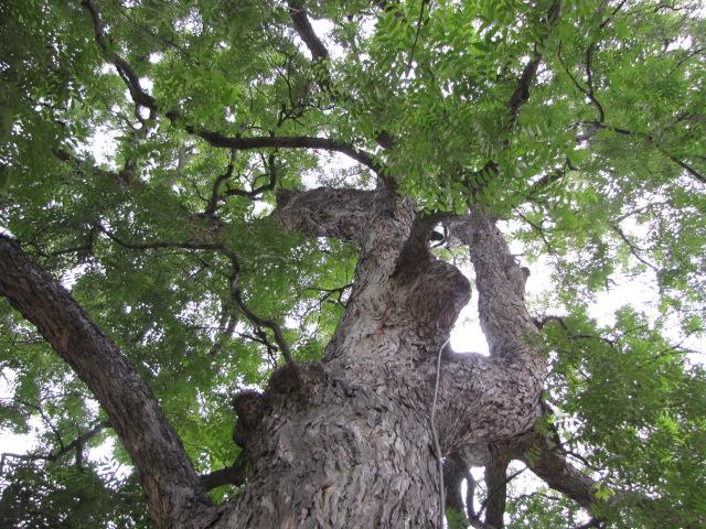 Pecan tree at the Alamo