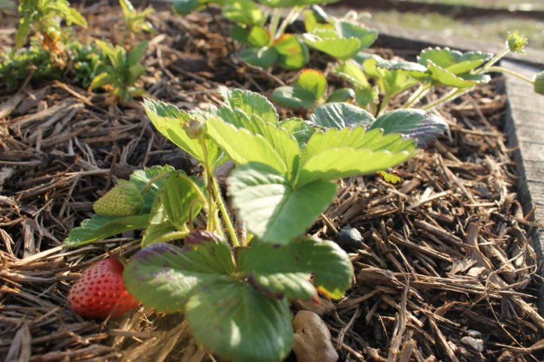Vulnerable strawberries. Ripe for the taking. Photo by Joey Pawlik.