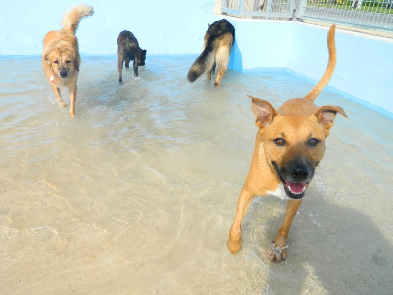 Dogs having fun in the pool at Lucy's Doggie Day Care. If I'm not mistaken, that's me in the corner. Photo by Lucy's Doggie Day Care & Spa.
