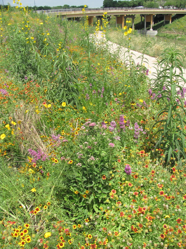 Numerous wildflowers in bloom along the Mission Reach. Photo courtesy of SARA