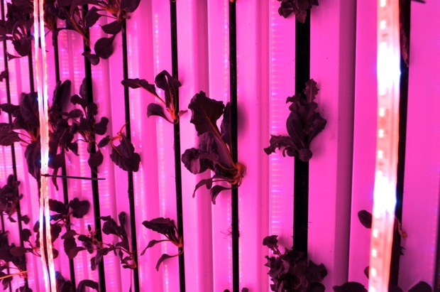LocalSprout crops look drab and brown under the green-free LED lights – but they are assuredly green (see next slide). Photo by Iris Dimmick.