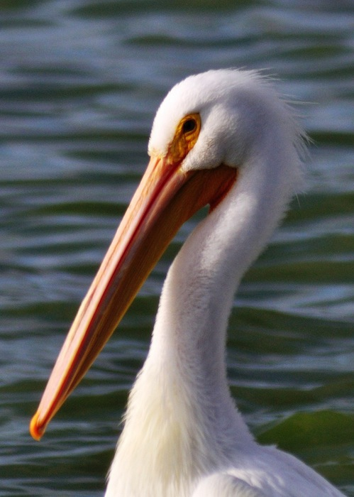 The American White Pelican, showcased this year at Mitchell Lake Audubon Center for IMBD. Photo credit: Paul Pruitt.