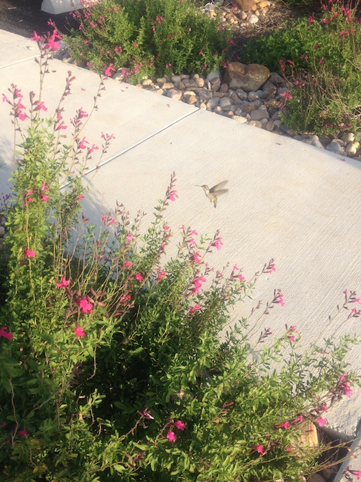 A hummingbird hovers near library plantings during the Mission Marquee Plaza grand opening June 7, 2014. Photo by Lily Casura.