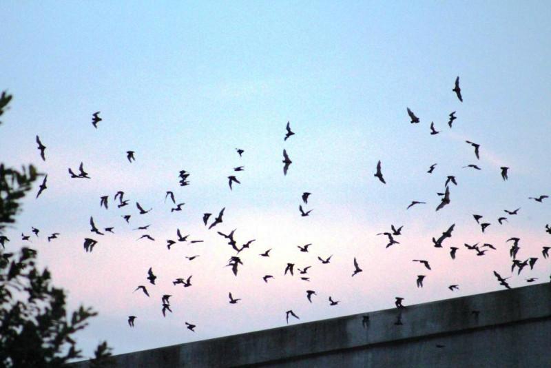 Bats fly from the Camden Street Bridge during previous Bat Loco program. Photo courtest San Antonio River Authority.