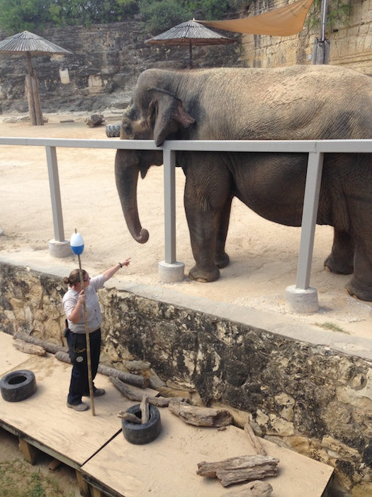 Kelsey, Lucky's trainer, directing her demonstration session at the San Antonio Zoo. Photo by Jackie Calvert.