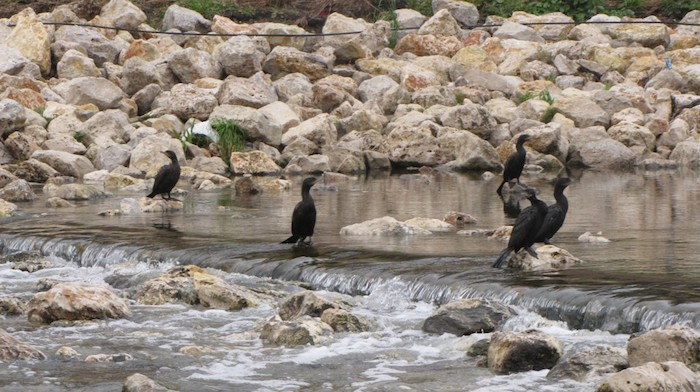 Cormorants fishing in a riffle on the San Antonio Mission Reach. Photo courtesy of SARA / Lee Marlow.