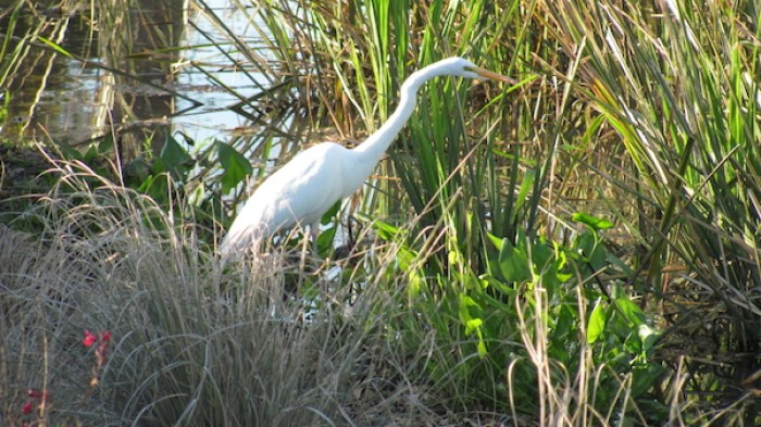 A great egret looks for food in an embayment along the Mission Reach. Photo courtesy of SARA / Lee Marlowe.