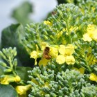Bees enjoy the flowers of the San Antonio Food Bank's broccoli crops. Photo by Iris Dimmick.