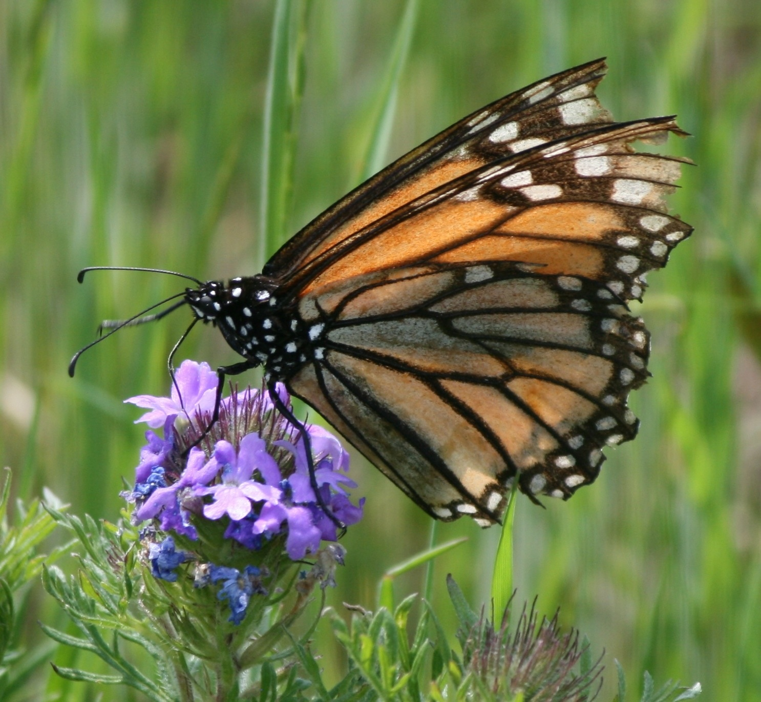 Faded migrant Monarch butterfly