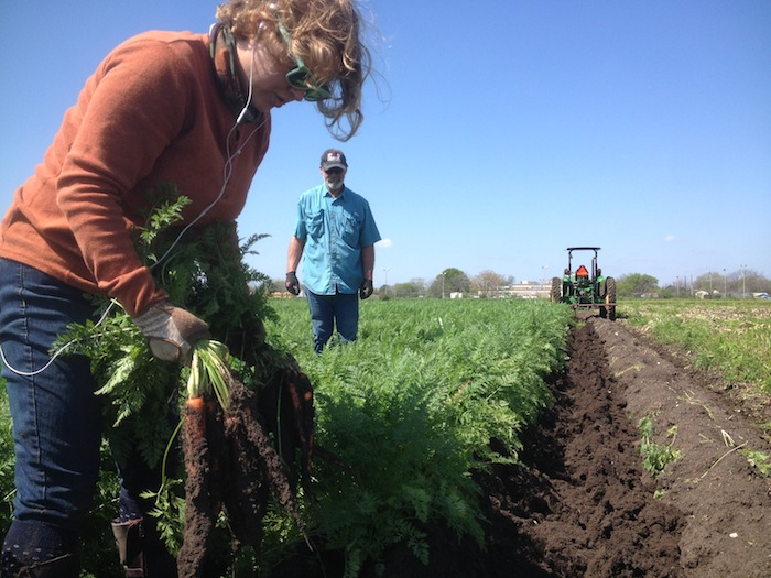 Farm Assistant Stephanie Patillo (left) harvests carrots at the San Antonio Food Bank farm with Farm Manager Mike Persyn. Photo by Mitch Hagney.