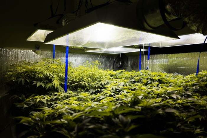 Inside a hydroponic marijuana grow operation in South Texas. Photo by Scott Ball.