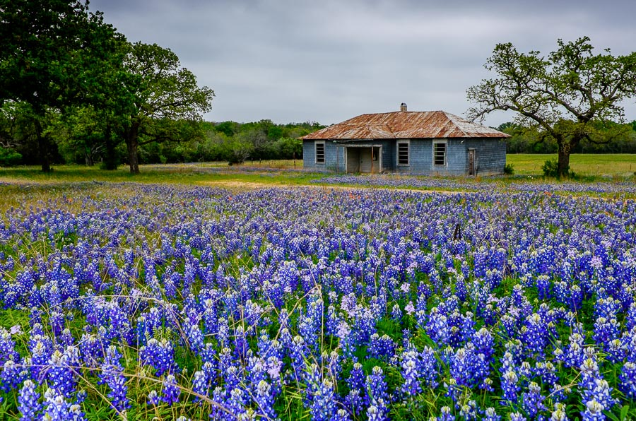 Bluebonnets accumulate around an old school house in Sandy Texas. Photo by Scott Ball.