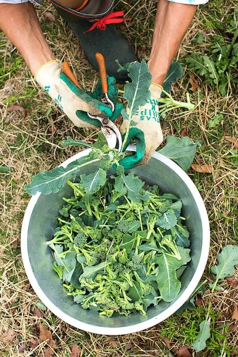 Broccoli harvest. Photo by Rachel Chaney.