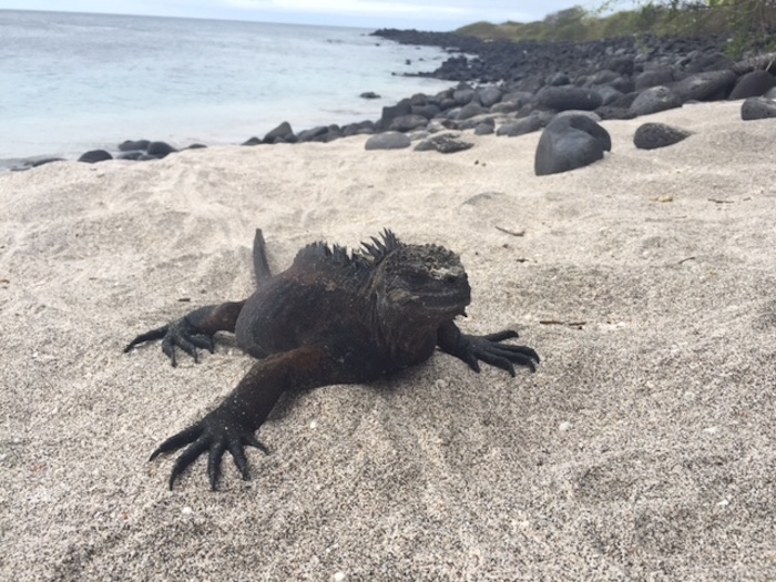 A marine iguana suns himself on a beach in the Galápagos Islands. Photo by Everett Redus.