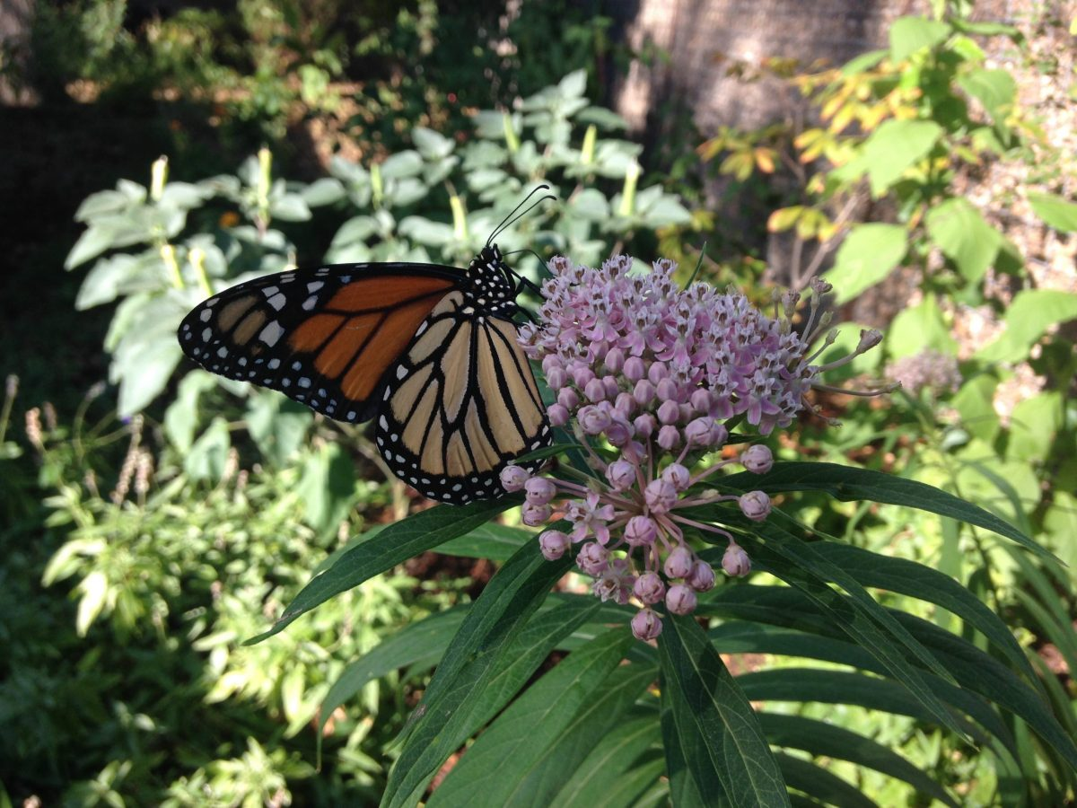 Monarch butterfly atop native Swamp milkweed in downtown pollinator garden.