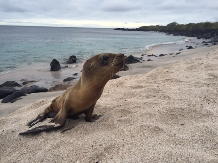 A sea lion cub calls out for its mother. Photo by Everett Redus.