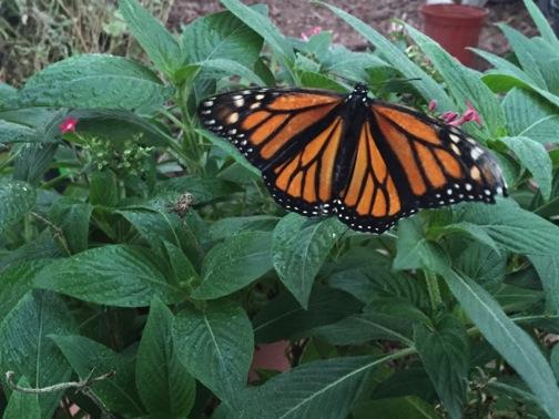 UTSA is growing a lot of milkweed, which is good news for this late season Monarch at the UTSA greenhouse. Photo courtesy UTSA.