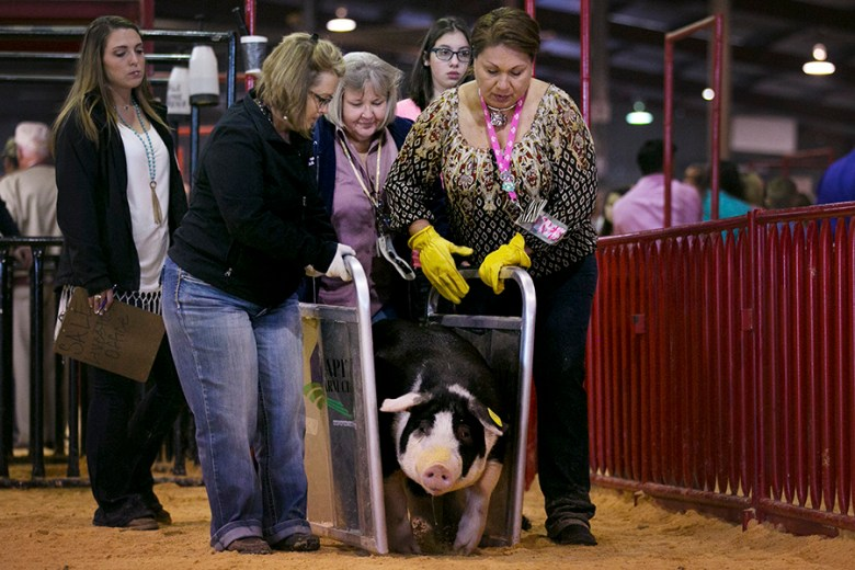 Rodeo staff corner a pig as the judging round comes to a close.  Photo by Kathryn Boyd-Batstone