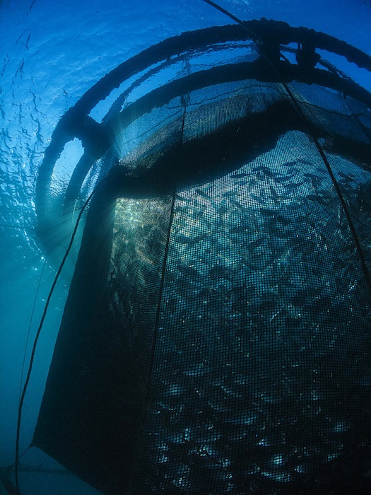 Royal Bream raises in a floating net in Marseille, France. Photo by Giles Lemarchand.