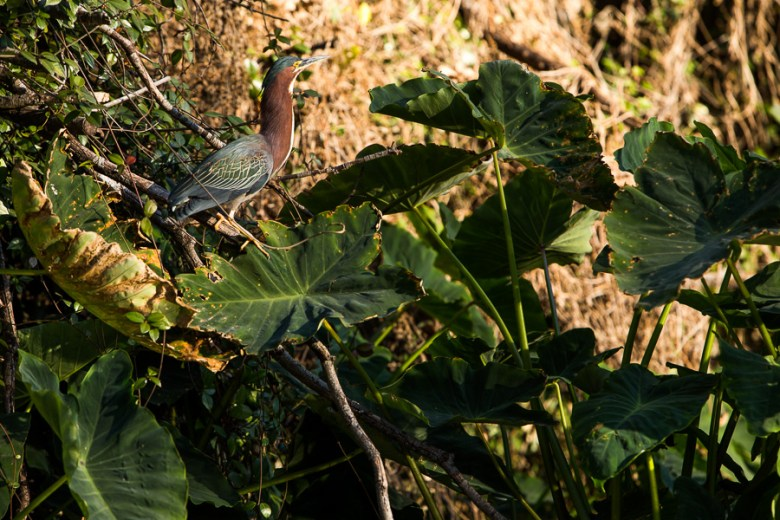 A green heron,  Butorides virescens, perches on Elephant Ears on the bank of the South Channel. Photo by Scott Ball.