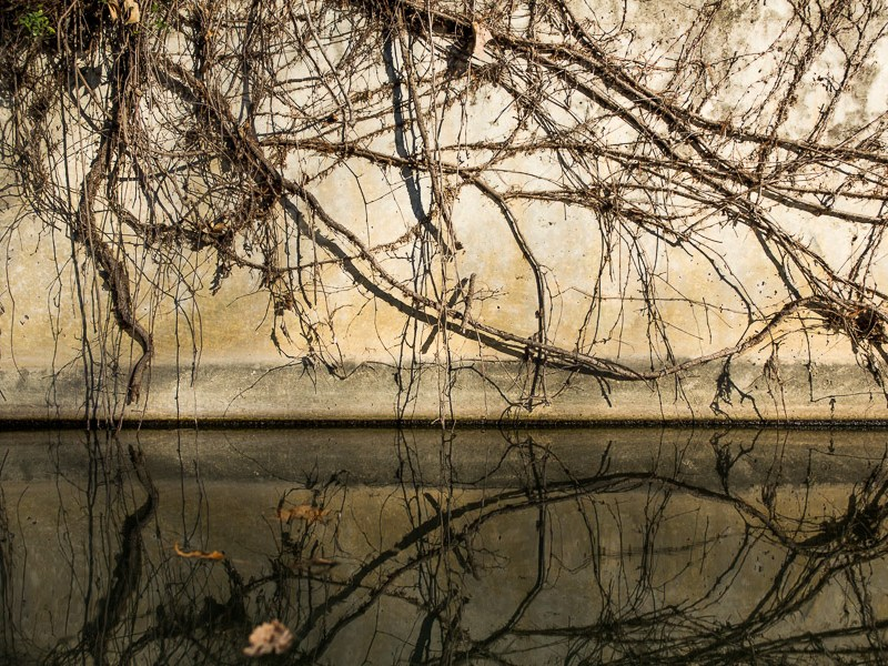 Vines creep down a concrete wall on the South Channel. Photo by Scott Ball.