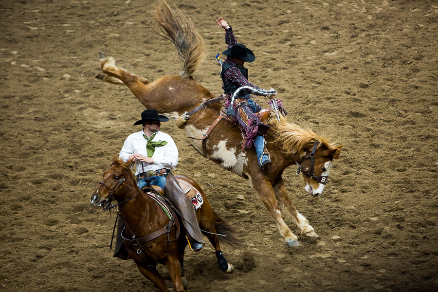 A saddle bronc horse bucks wildly as the rider holds on. Photo by Scott Ball.
