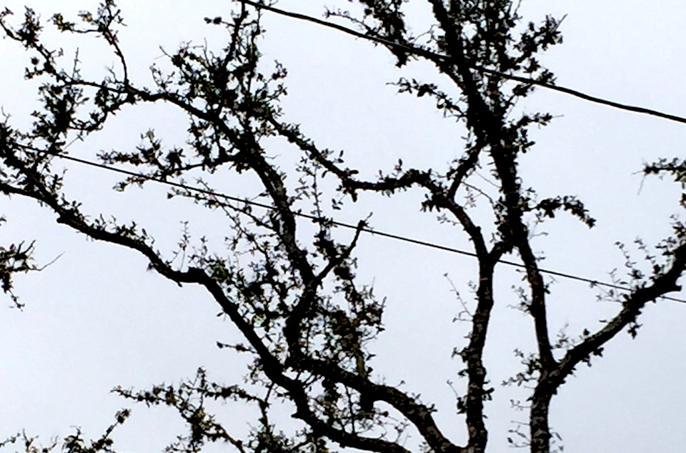 An oak tree infected with oak wilt in Hollywood Park. Photo by Greg Jefferson.