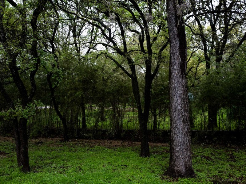 An oak tree that has been infected stands alone near healthy trees. Photo by Scott Ball.