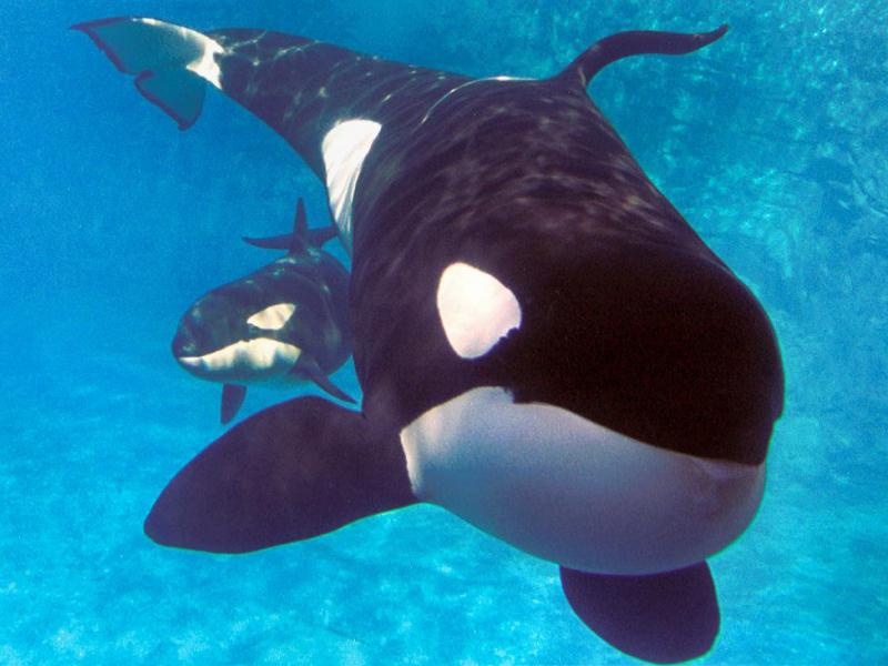 """""""SeaWorld's killer whale breeding program is the most successful in the world, with 24 successful killer whale births since the program's inception in 1985. More than 80 percent of the marine mammals in SeaWorld's care were born in the parks. Additionally, the breeding program has made major contributions to the understanding of killer whale biology and reproductive physiology."""" Photo courtesy of SeaWorld."""