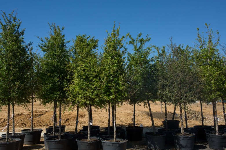 Rows of trees will be planted at the park. Photo by Scott Ball.