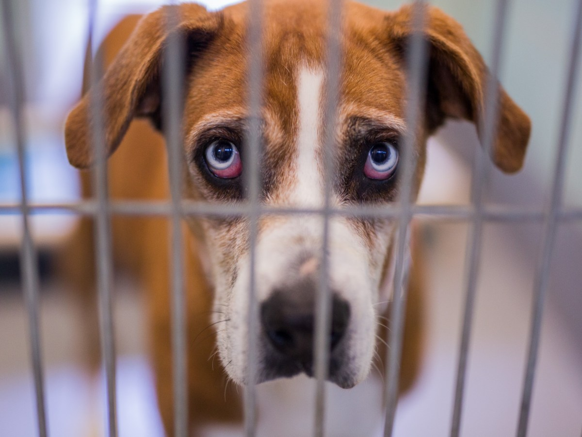 A dog that is awaiting adoption or fostering at San Antonio Pets Alive! Photo by Scott Ball.