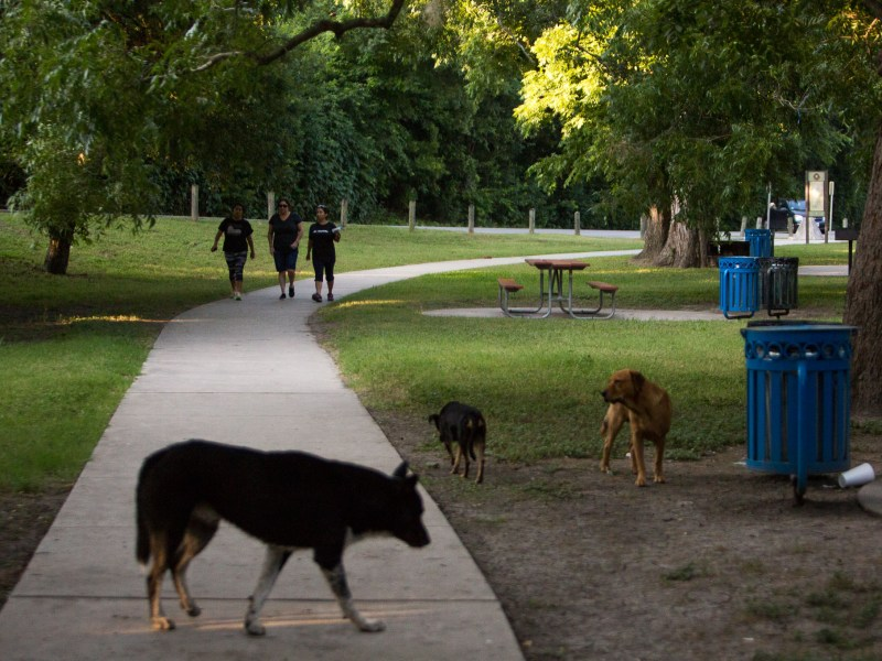 Walkers are crossed in a pathway with a pack of stray dogs that possibly were dumped in Brackenridge Park. Photo by Scott Ball.