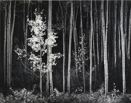 Aspens, New Mexico, 1958. Photo by Ansel Adams, courtesy of the Briscoe Western Art Museum.