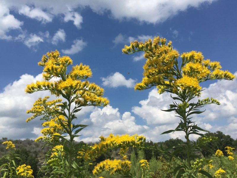 Sprays of Goldenrod and other late season nectar bank lined the banks of the Llano River, ready for migrating Monarchs. Photo by Monika Maeckle