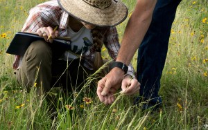 Conservationists closely monitor the prairie grasses on the grounds of the Cibolo Nature Center. Courtesy of the Cibolo Nature Center & Farm.