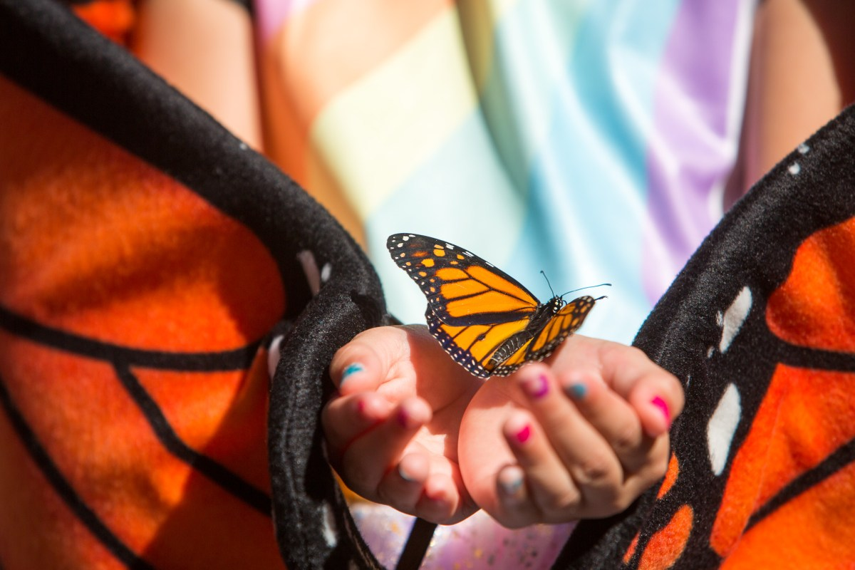 Marilyn, 5, dressed as a Monarch herself, holds a butterfly in her hands.